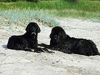 Hund am Strand auf Fehmarn